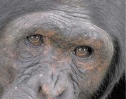 Chimp_closeup